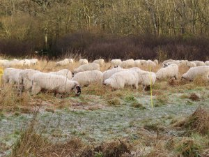 Sheep on Pheasant Field
