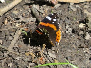 IMG_8444c Red Admiral